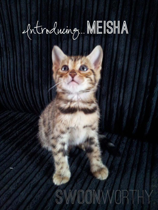 Say Hello:  Introducing our new Bengal Kitten…