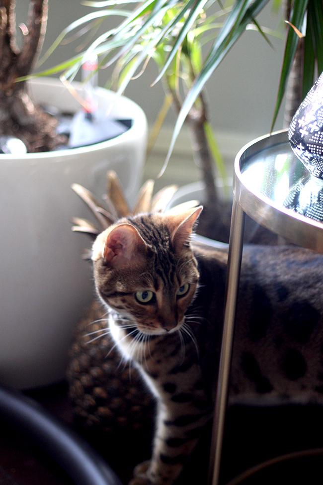Jungle Cat Meisha Bengal