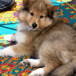 Introducing Quito, our new Sheltie puppy