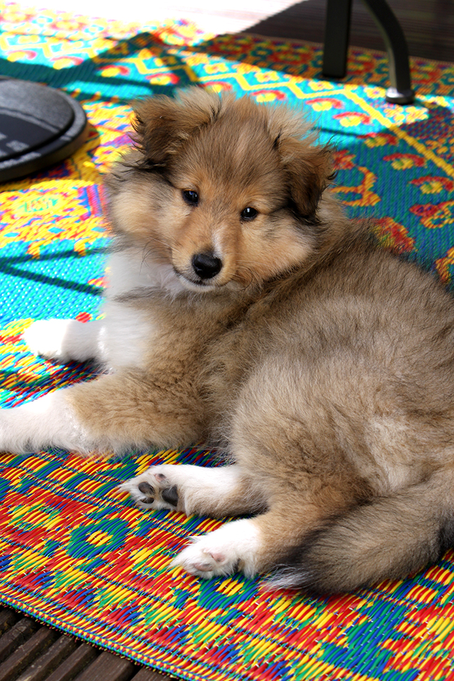 Introducing Quito Our New Sheltie Puppy Swoon Worthy