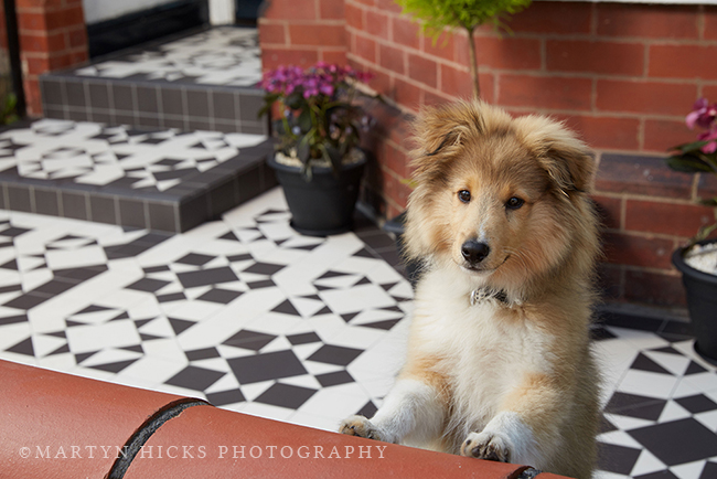Swoon Worthy - Quito Sheltie -Martyn Hicks shoot 2