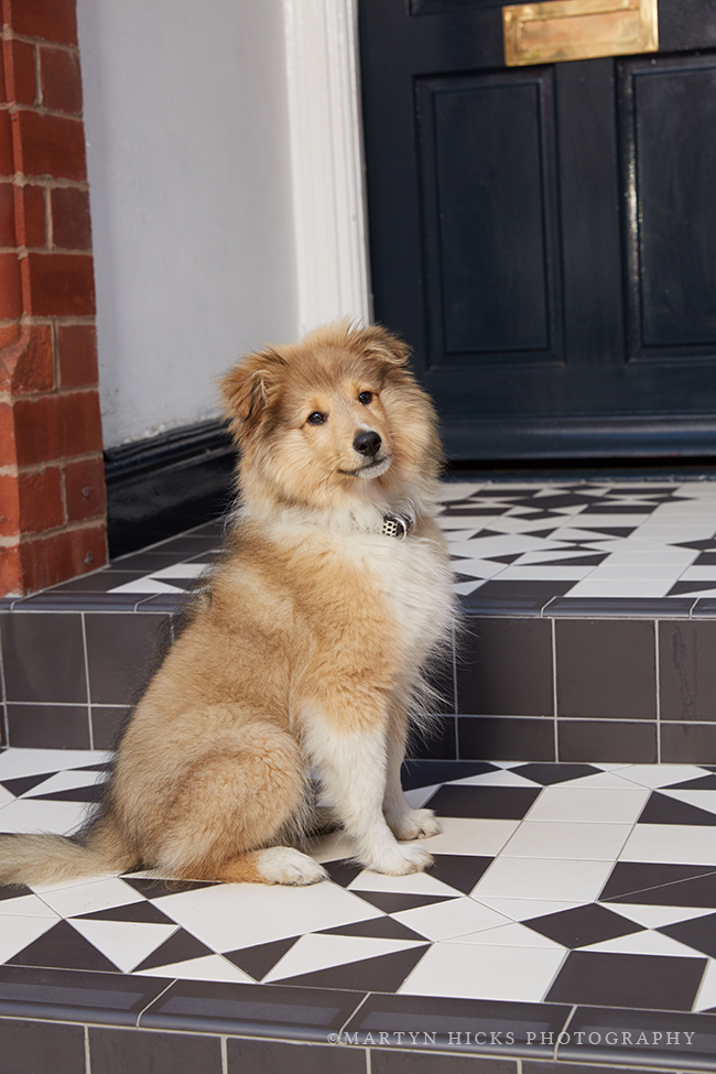 Swoon Worthy - Quito Sheltie -Martyn Hicks shoot 4