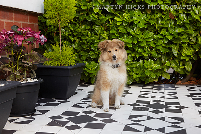 Swoon Worthy - Quito Sheltie -Martyn Hicks shoot 5