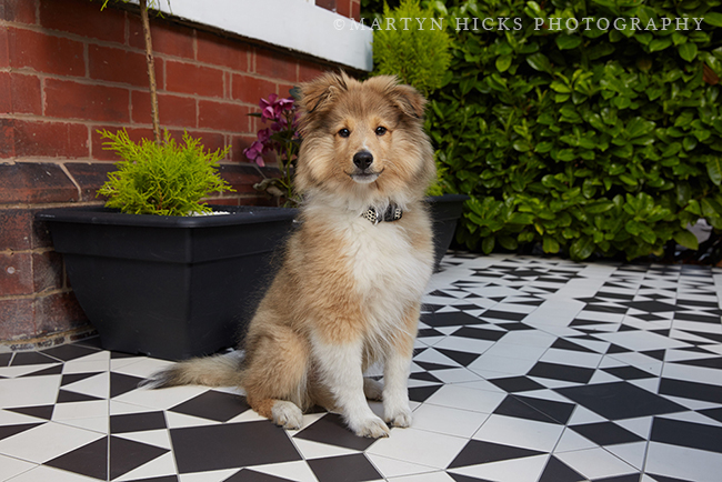 Swoon Worthy - Quito Sheltie -Martyn Hicks shoot 6