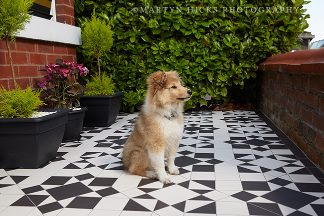 Swoon Worthy - Quito Sheltie -Martyn Hicks shoot 8