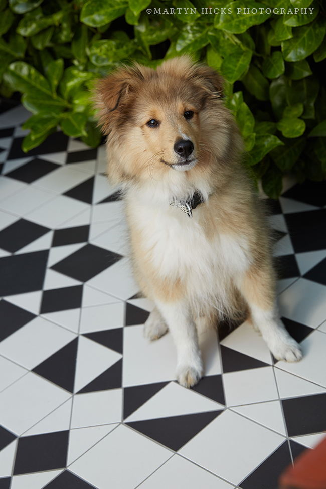 Swoon Worthy - Quito Sheltie -Martyn Hicks shoot
