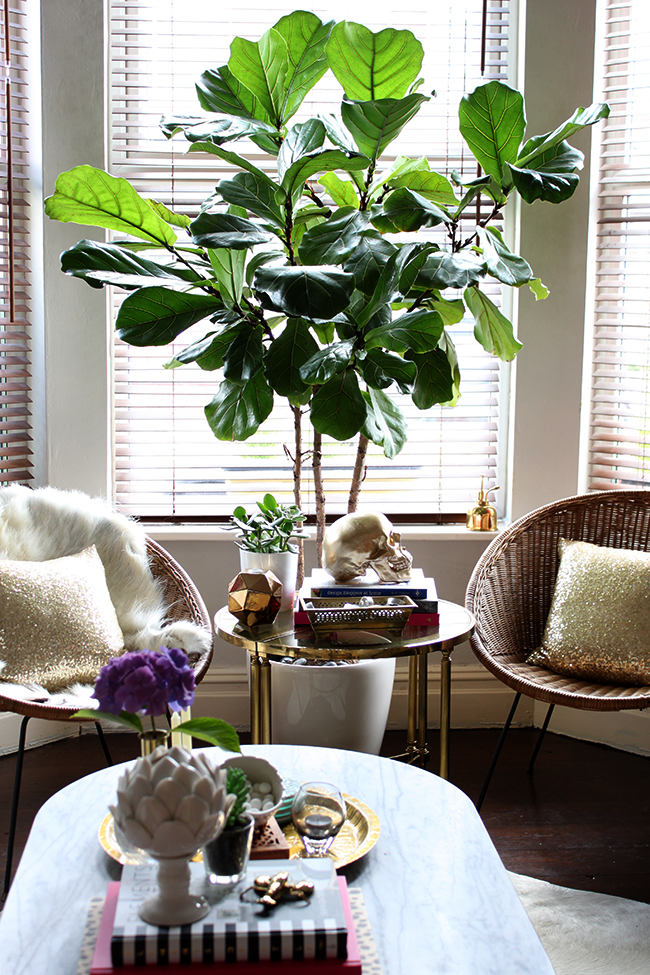 Fiddle Leaf Fig Swoon Worthy - 18 months later!