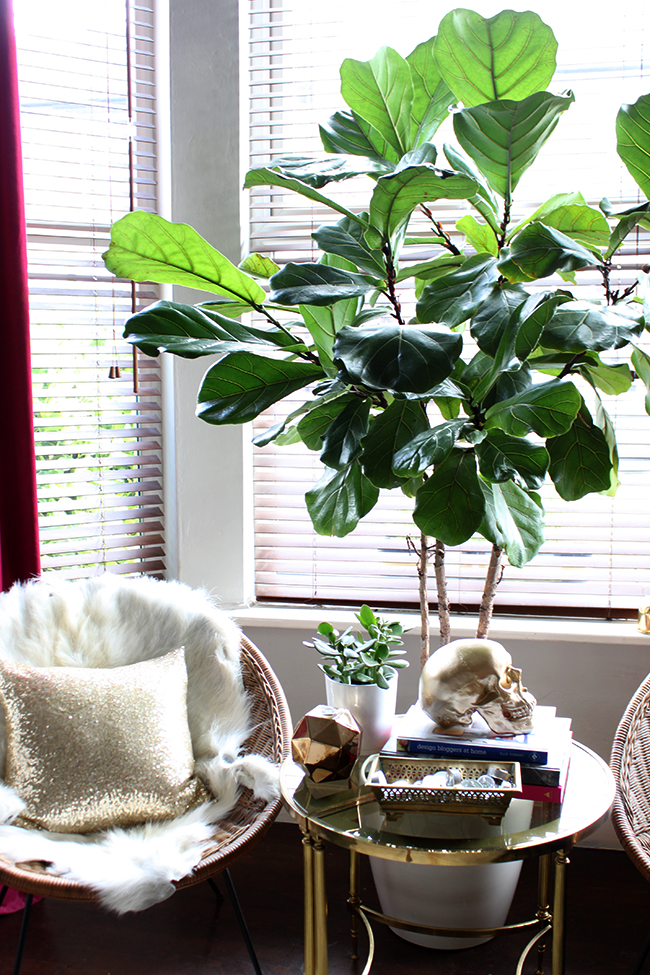 Fiddle Leaf Fig Swoon Worthy 18 months later
