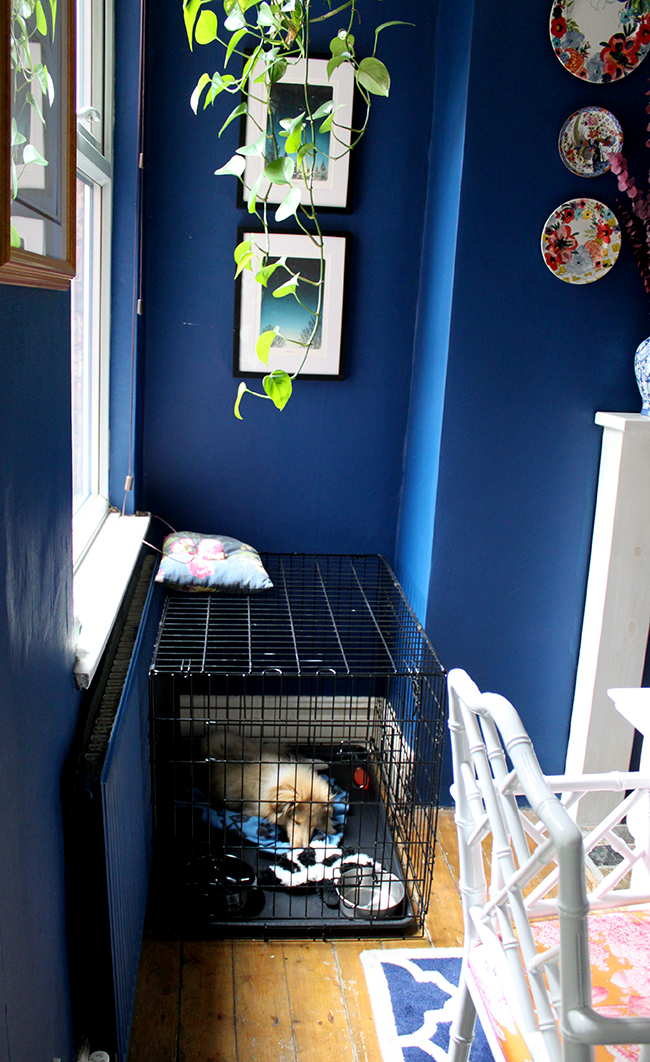 Swoon Worthy - Sheltie puppy Quito in dog crate in dining room
