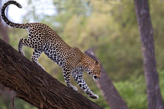 African Leopard, Samburu National Reserve, Kenya