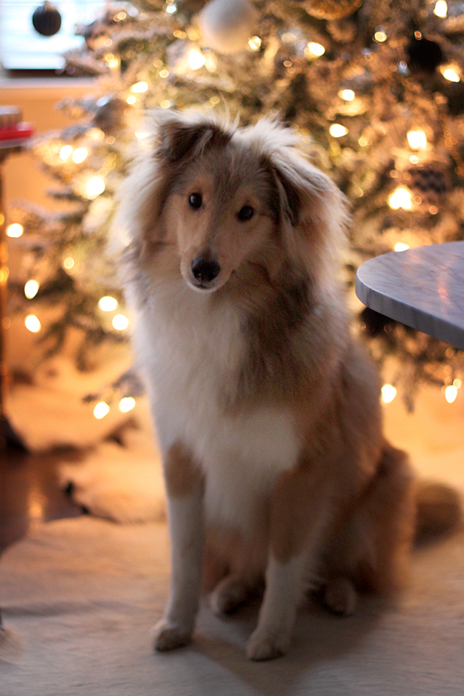 Quito Xmas 2015 - Swoon Worthy blog - sheltie puppy in front of Christmas tree