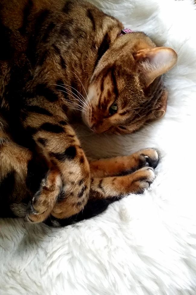 Meisha bengal cat on white fur throw - Swoon Worthy