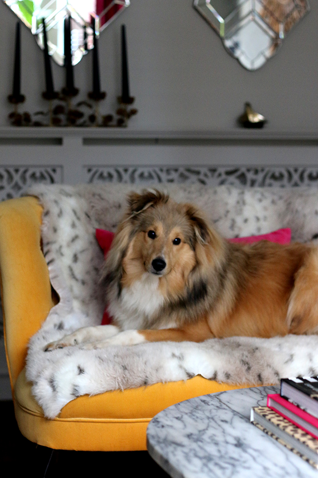 Quito - Swoon Worthy - Sheltie dog on yellow love seat