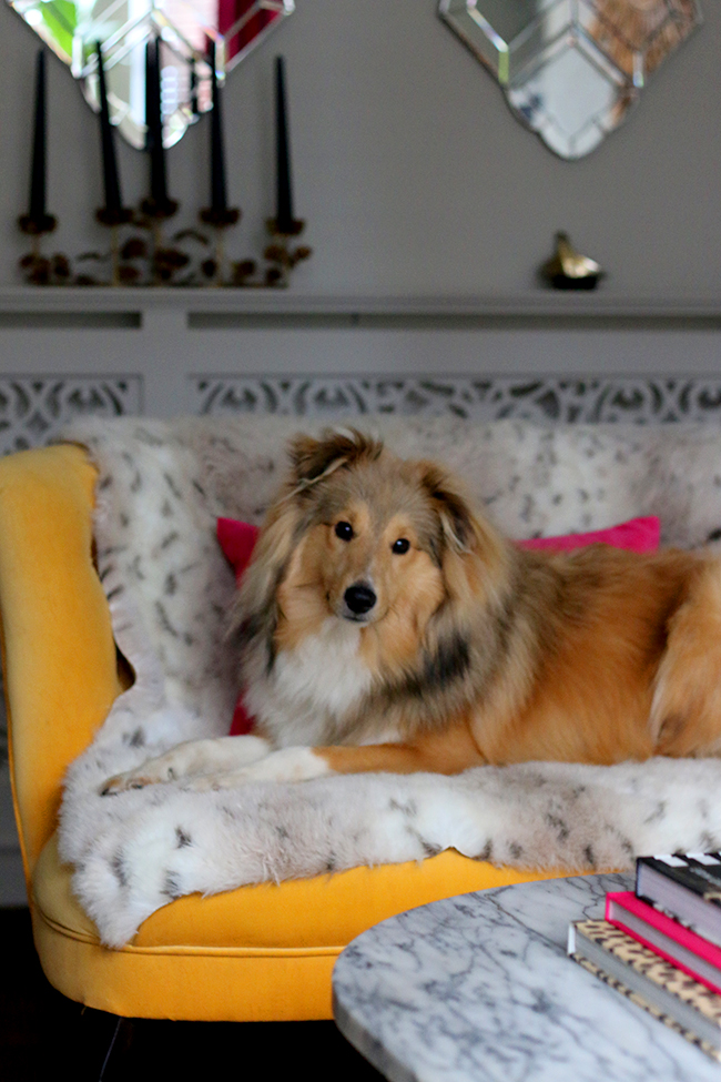 Swoon Worthy - Quito the Sheltie on yellow sofa