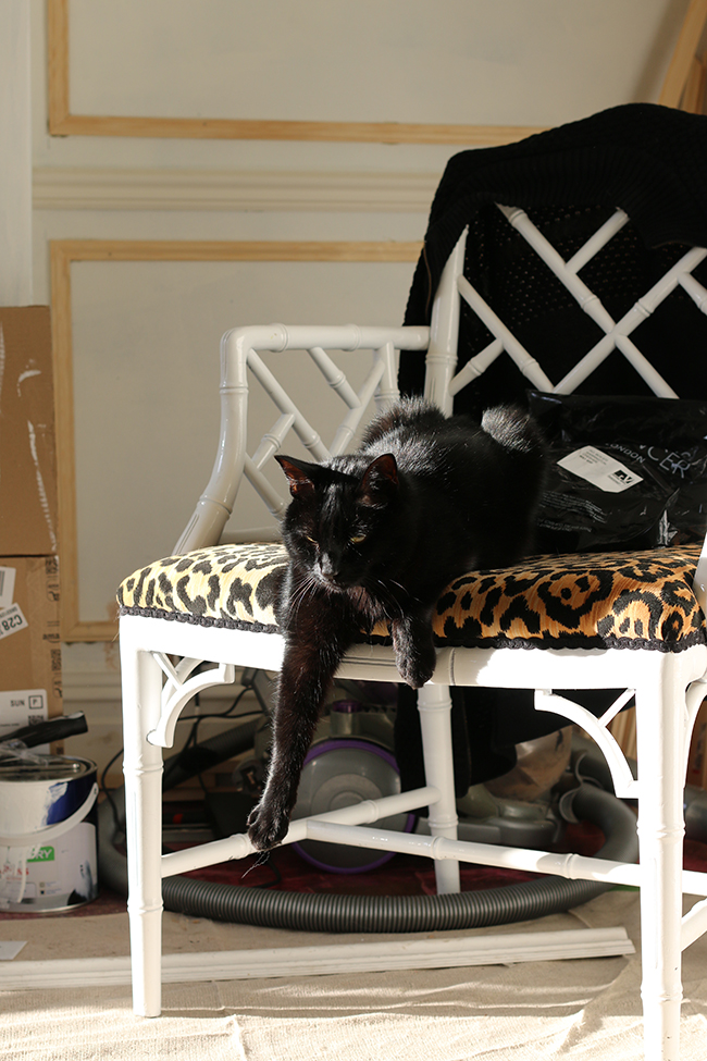 Black cat - Pablo - on leopard print chair