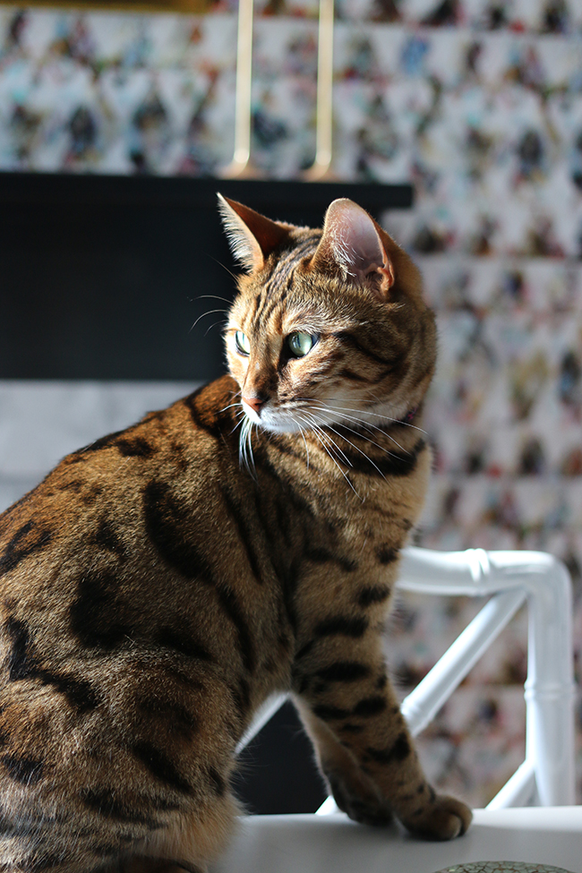 Bengal Cat Meisha - Living with Pets