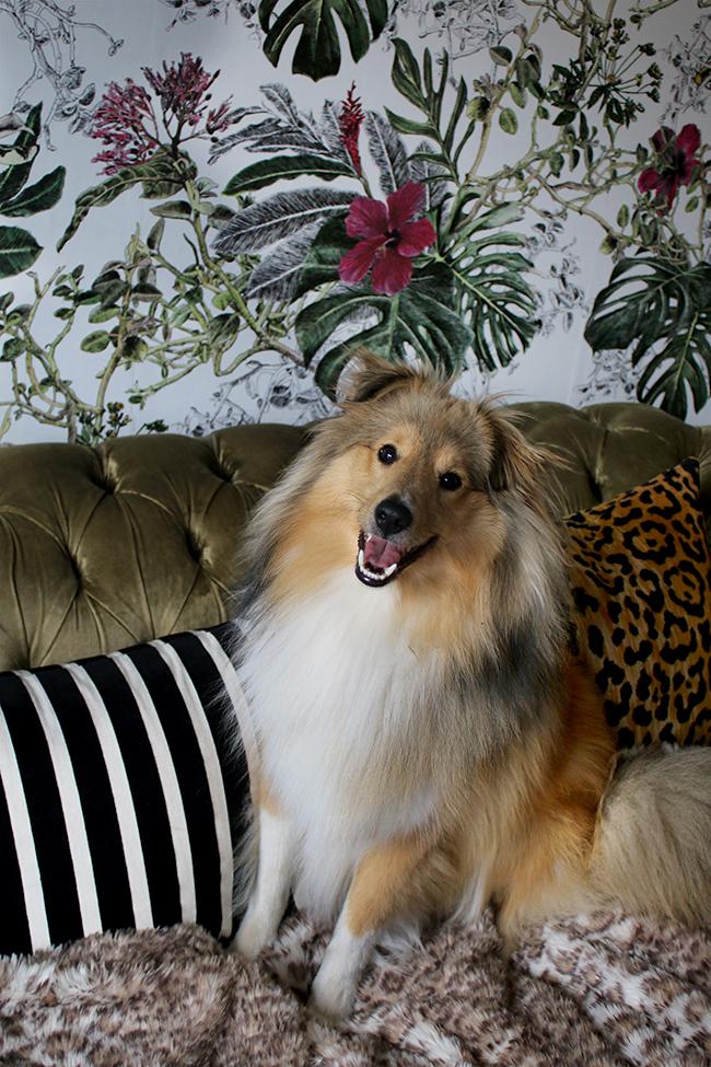 Shetland sheepdog on sofa