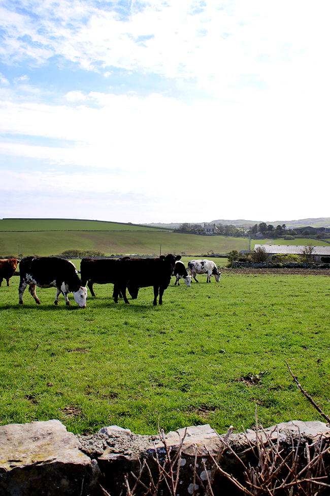 Cows in field, Cemlyn Wales