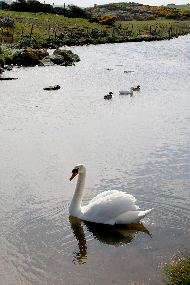 Cemlyn Bay Anglesey Wales swan