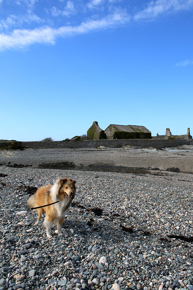 Cemlyn Bay in Anglesey - Sheltie on beach