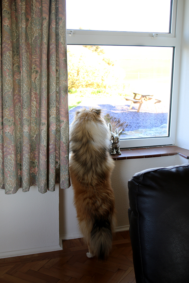 Sheltie at window