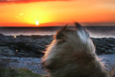 Cemlyn Bay, Anglesey, Wales - sheltie dog watching sunset