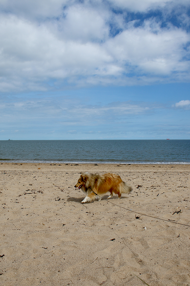 Lligwy Beach, Anglesey, Wales - sheltie on beach