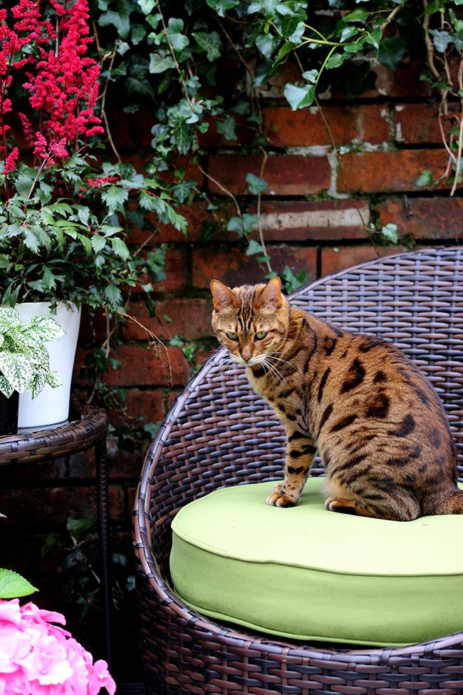 Meisha bengal cat on patio