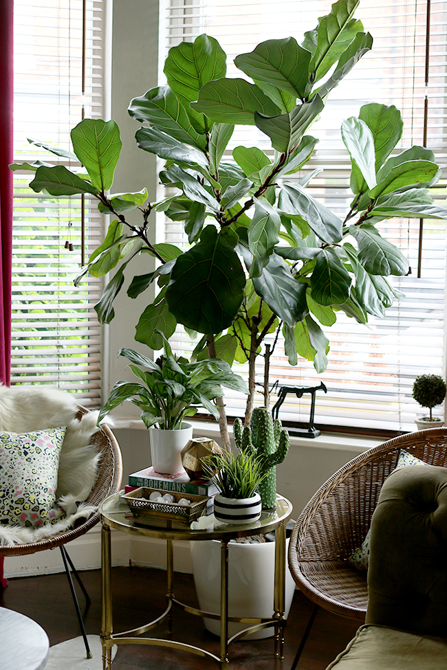 fiddle leaf fig tree with vintage hoop chairs