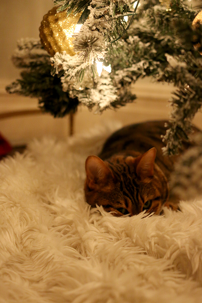 bengal cat sleeping under Christmas tree