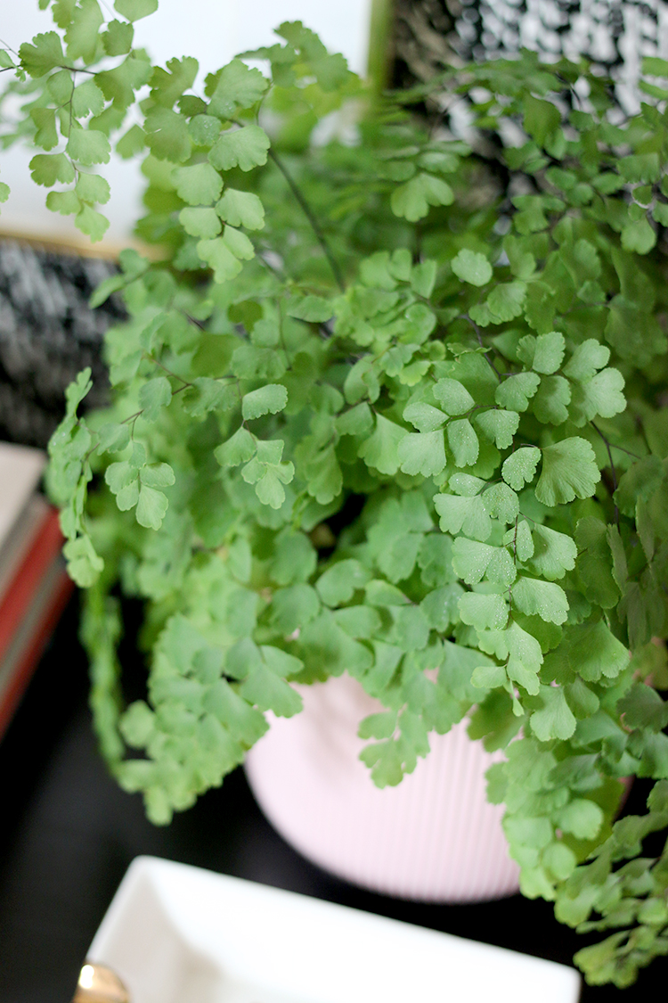 Maidenhair Fern Care Tips