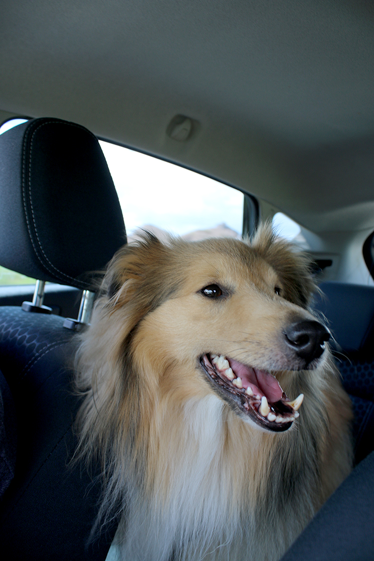 Happy sheltie going on a car ride