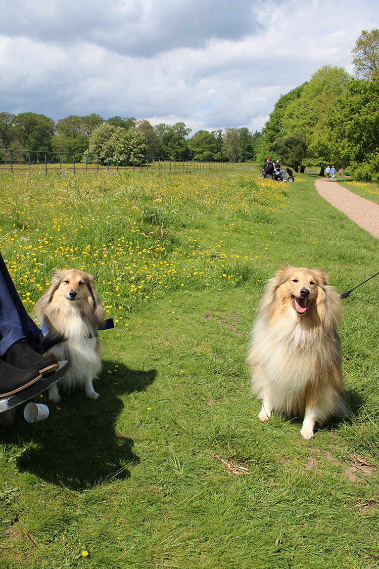 Two Shelties in park