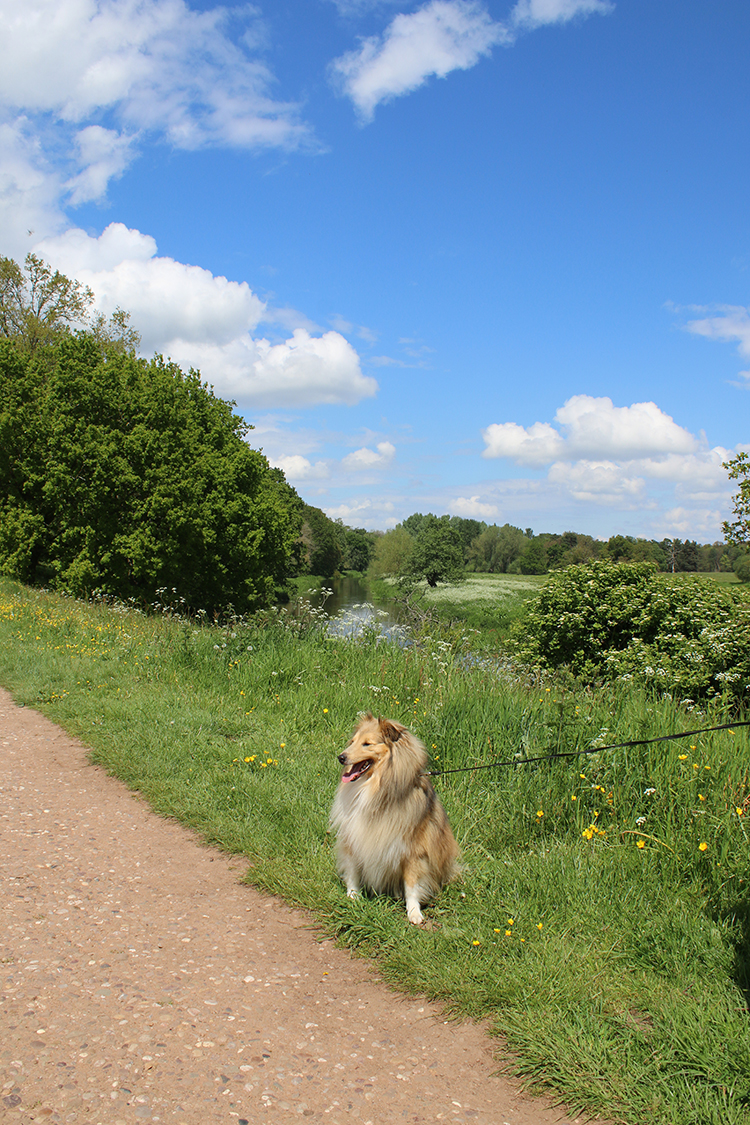 Sheltie at Attingham Park River walk