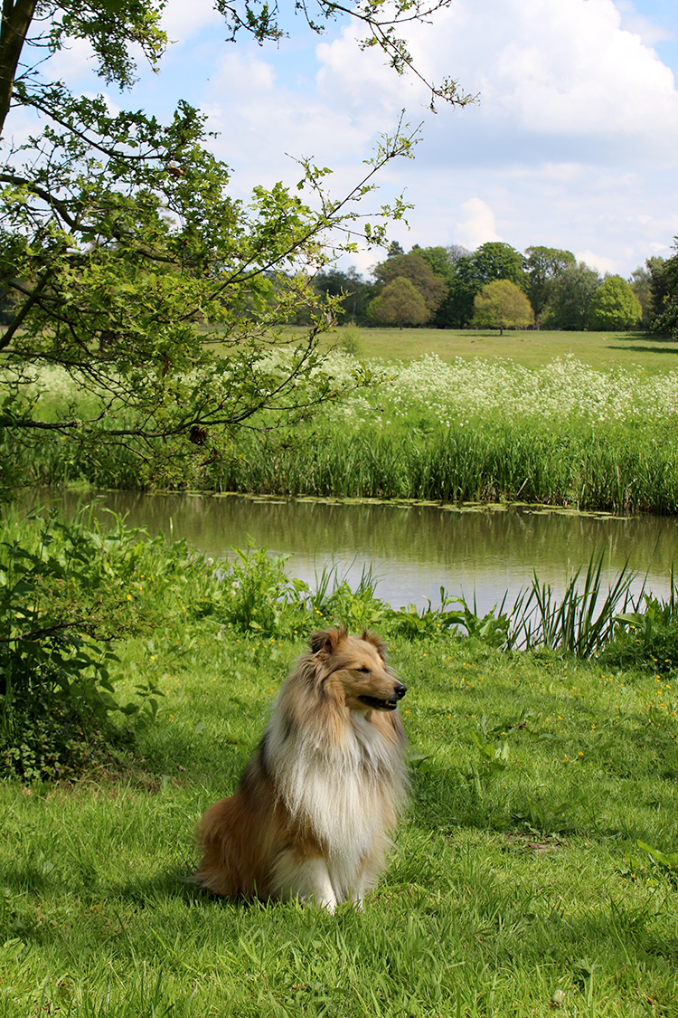 Sheltie dog along a river in Attingham Park Shropshire