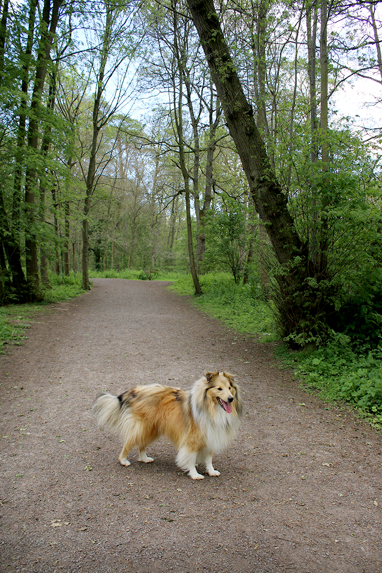 Sheltie in Attingham Park