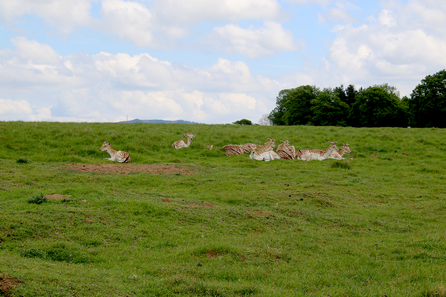 Fawns in Attingham Park