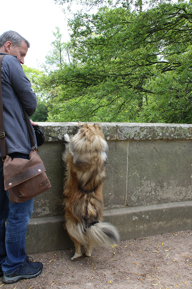 Sheltie trying to look over bridge