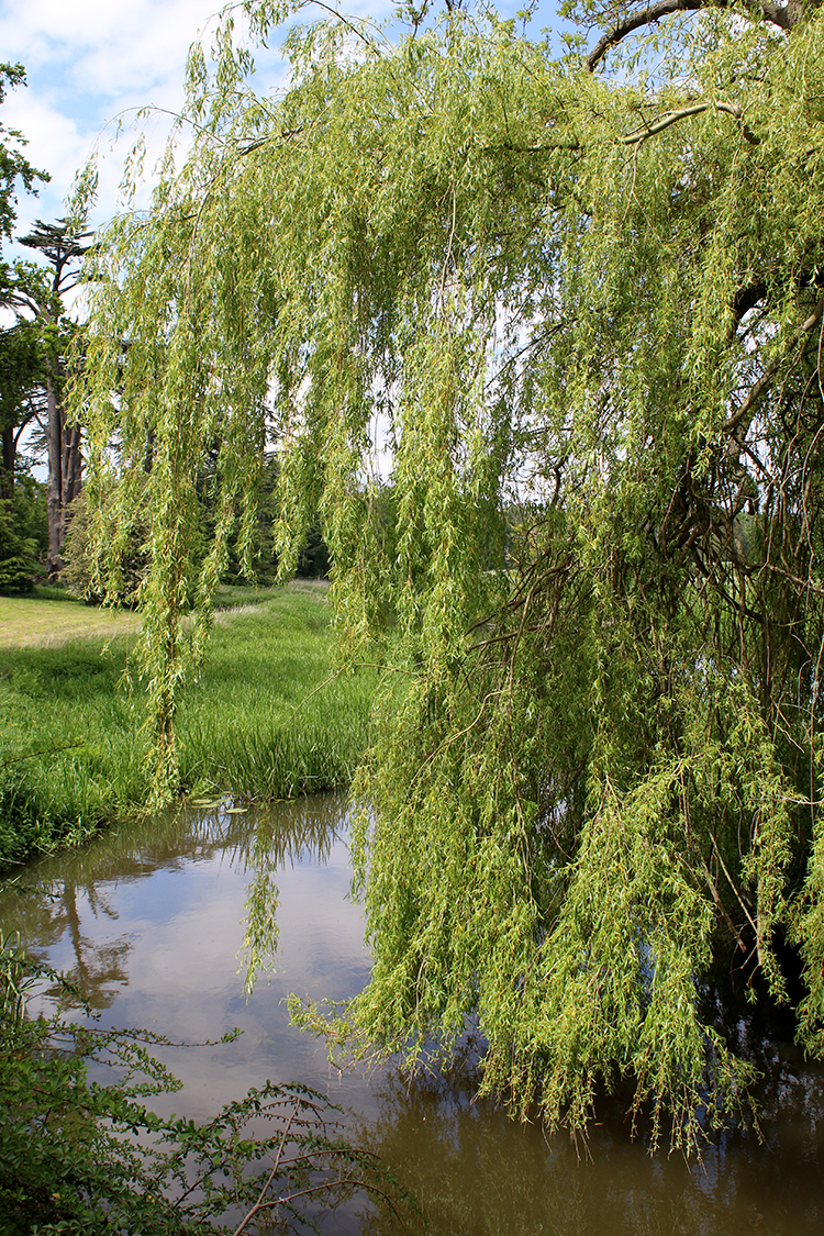 Willow tree at Attingham Park Shropshire National Trust