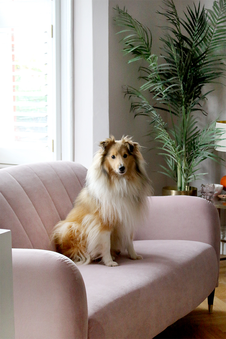 Sheltie dog on a pink velvet sofa in front of a window