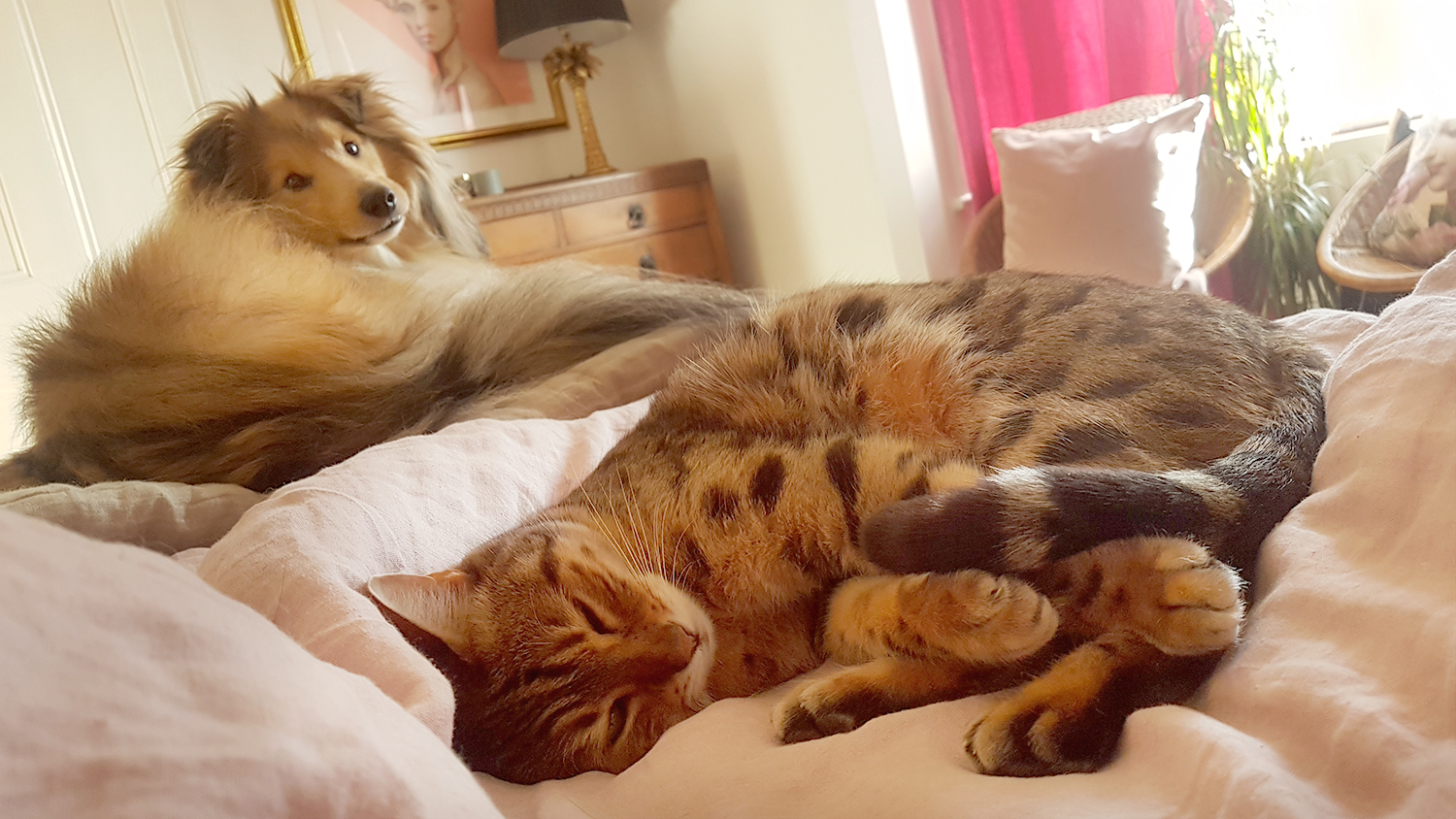Bengal and Sheltie sleeping together on a bed