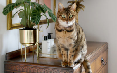 Cat Quirks: What Meisha has taught me about living with a Bengal
