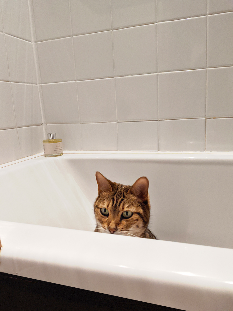 Bengal in bathtub
