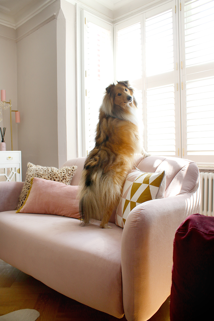 Pink velvet sofa with Sheltie dog standing up on it looking towards camera