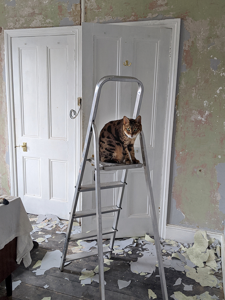 scraping paint off plaster - cat on ladder